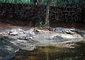 Mugger crocodiles at IndiraGandhi Zoological Park Visakhapatnam.JPG