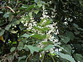 Muguet Martinique.JPG