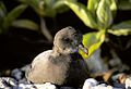 Murphy's petrel sitting on coral.jpg