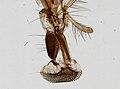 Muscidae (YPM IZ 098906).jpeg