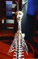 Museum Boerhaave Skeleton Goat.jpg