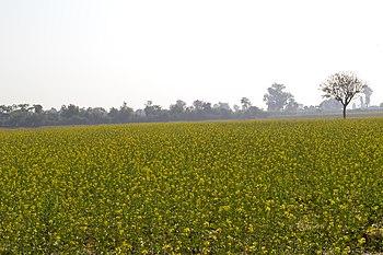 Mustard Farm.jpg