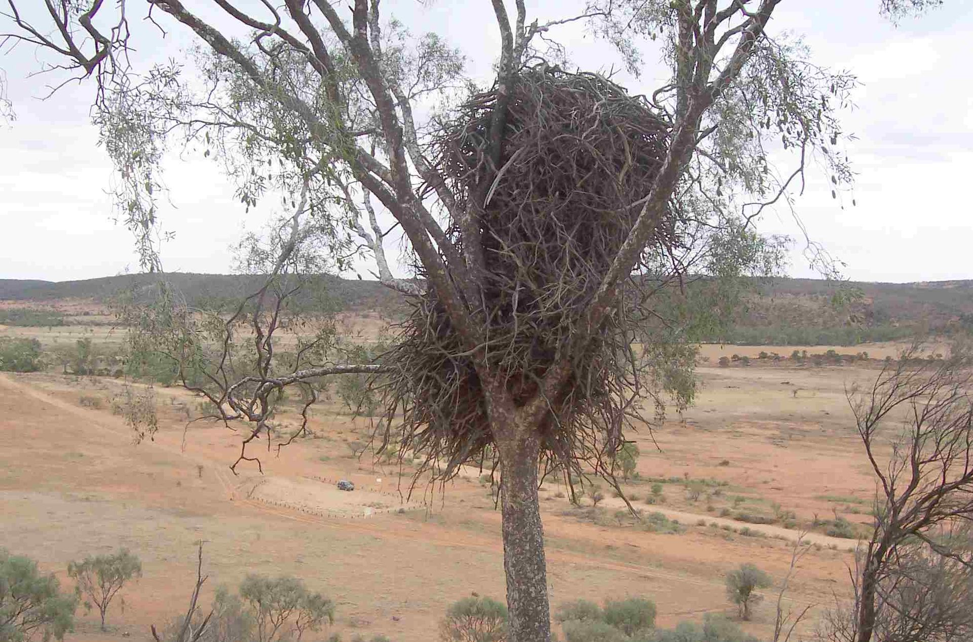 Wedge-tailed eagle nest