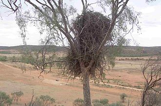Wedge-tailed eagle - Nest in a leopardwood tree at Mutawintji National Park