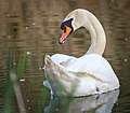 Mute swan (49936806173).jpg