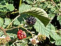 My First Blackberry 2009 - geograph.org.uk - 1421171.jpg