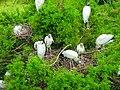Mycteria americana -Harris Neck National Wildlife Refuge, Georgia, USA -nests-8.jpg