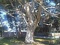 Myrtales - Eucalyptus dalrympleana 2.jpg