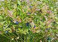 Myrtille Vaccinium myrtillus.jpg