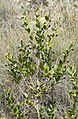 Myrtus communis RF.jpg