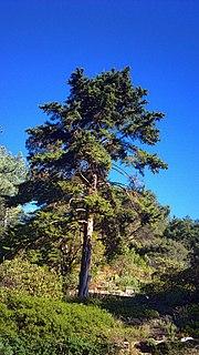 <i>Cupressus abramsiana</i> species of plant