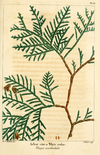 NAS-156 Thuja occidentalis.png