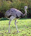 Nandu Rhea americana Tierpark Hellabrunn-2.jpg