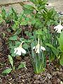 Narcissus moschatus ^ Scopolias - Flickr - peganum.jpg