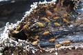 Nasute termite soldiers.png