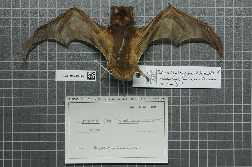 The average litter size of a Midas free-tailed bat is 1