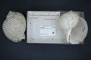 <i>Tonna chinensis</i> Species of gastropod