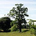 Naturdenkmal Koenigseiche bei Altenhagen I.JPG