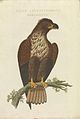 Nederlandsche vogelen (KB) - Haliaeetus albicilla (416b).jpg