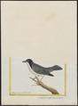 Nemosia pileata - 1700-1880 - Print - Iconographia Zoologica - Special Collections University of Amsterdam - UBA01 IZ15900347.tif
