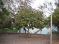 Neocarya macrophylla 0007.jpg