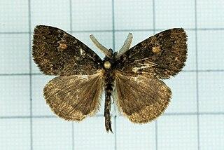 <i>Ilema</i> genus of insects