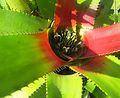 Neoregalia sp. - Flickr - Dick Culbert.jpg