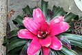 Neoregelia All Aglow 0zz.jpg