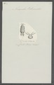 Nerocila blainvillei - - Print - Iconographia Zoologica - Special Collections University of Amsterdam - UBAINV0274 098 11 0011.tif
