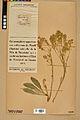 Neuchâtel Herbarium - Aurinia saxatilis - NEU000022635.jpg