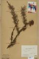 Neuchâtel Herbarium - Larix decidua - NEU000003675.tif