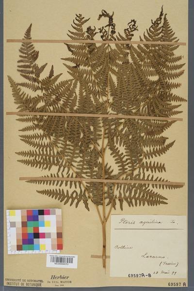 File:Neuchâtel Herbarium - Pteridium aquilinum - NEU000000751.tiff