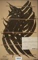 Neuchatel Herbarium Types NEU000113032.tif
