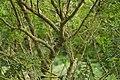 New Zealand, Great Walk Lake Waikaremoana (10) - Clianthus maximus.JPG