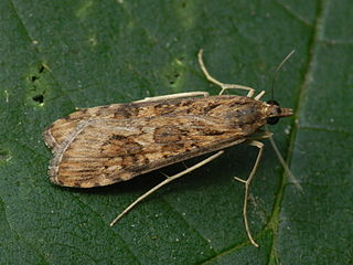 Nomophilini Tribe of moths