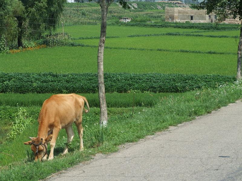 File:North Korea Cow.JPG