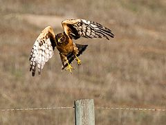 Northern Harrier taking off.jpg