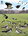 Northern Lapwing from the Crossley ID Guide Britain and Ireland.jpg