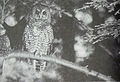Northern Spotted Owl 1990.JPG