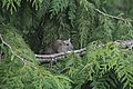 Norway or Brown Rat 03.jpg