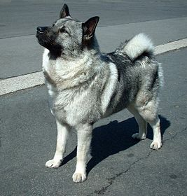 https://upload.wikimedia.org/wikipedia/commons/thumb/d/d4/Norwegian_Elkhound.jpg/267px-Norwegian_Elkhound