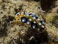 Nudibranch (6851483730).jpg