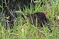 Nutria Myocastor coypus 9278.jpg