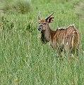Nyala (Tragelaphus angasii) young male ... (50089660743).jpg