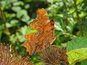 Polygonia c-album - Ventral view of the hutchinsoni form showing light-coloured wing undersides