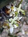 O.europaea-flor-1.jpg