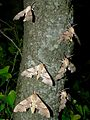Oak Hawk-moths (Marumba quercus) male (8336643071).jpg