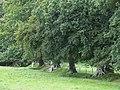Oak Trees in Field Boundary, Ceredigion - geograph.org.uk - 566764.jpg