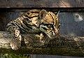 Ocelot Santago Leopard Project 2.jpg