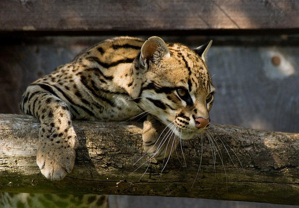 Ocelot Santago Leopard Project 2
